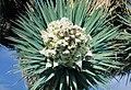 Yucca brevifolia fh 1183.73 CAL B.jpg