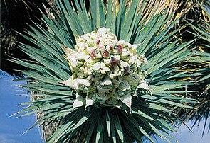 Yucca brevifolia mit Knospe in Kalifornien.