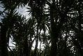 Yucca elephantipes 21zz.jpg