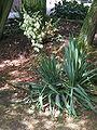 Yucca filamentosa01.jpg