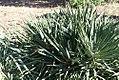 Yucca filamentosa 9zz.jpg