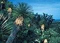 Yucca linearifolia MEX BB.jpg