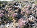 Yucca striata (5703202769).jpg