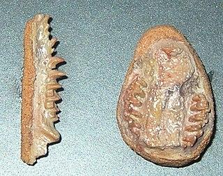<i>Zalambdalestes</i> Genus of shrew-like mammal from the Upper Cretaceous period