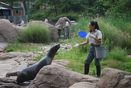 California sea lions play at the Bronx Zoo, the world's largest metropolitan zoo.[173]