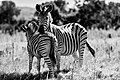Zebra Love 1 (139026591).jpeg