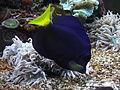 Zebrasoma xanthurum,.JPG