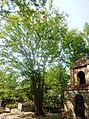 Zelkova near Kedi St. George Church.JPG