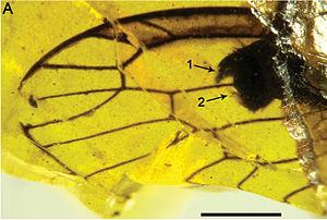 Snakefly - Styporaphidia? hispanica