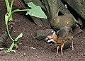 ZooParc de Beauval Cerf-souris Chevrotain malais Tragulus javanicus 08082019 01 9230.jpg