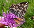 Zygaena purpuralis with Marbled White (16275665608).jpg