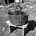 """""""Cajna"""" (iz beke), Manče 1958.jpg"""