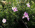 'Cosmos' at Capel Manor College Gardens Enfield London England 1.jpg