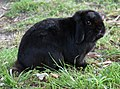 (1)Lop eared rabbit-3.jpg