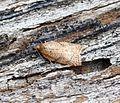 (1044) (1045) Acleris notana-ferrugana - Flickr - Bennyboymothman.jpg