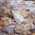 (1336) Eudonia pallida (34579822890).jpg