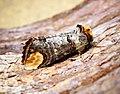 (1994) Buff-tip (Phalera bucephala) (34924490041).jpg