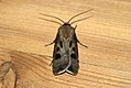 (2089) Heart & Dart (Agrotis exclamationis) (3530483012).jpg