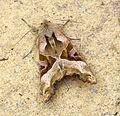(2306) Angle Shades (Phlogophora meticulosa) (22317781891).jpg