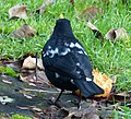 (Spangled) Male Blackbird (49310643161).jpg