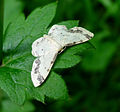 (Treble Brown Spot) Idaea trigeminata family Geometridae. (8365274182).jpg