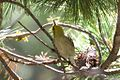 ?? Hermit or Olive Warbler - Rustler Park - Cave Creek - AZ - 2015-08-16at10-36-0010 (21646376061).jpg