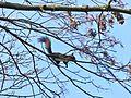 Écureuil à Buisson-Rond (Chambéry).JPG