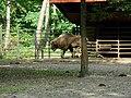 Żubr kaukaski (górski) - Bison bonasus caucasicus - Wisent (European bison) - Wisent (Europäische Bison) (4).JPG