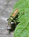 Долгоносик серебристый Phyllobius argentatus (8993851781).jpg