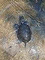 Европейская болотная черепаха.15.jpg