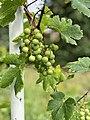 Караманской дачный виноград.jpg