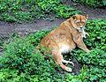Київський зоопарк Леви 09.JPG