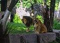 Київський зоопарк Лев IMG 3411.jpg
