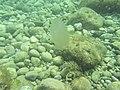 Медуза. Подводное фото. Симеиз. Крым. Сентябрь 2012 - panoramio.jpg