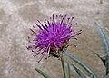 Наголоватка белостебельная - Jurinea albicaulis - Белостъблен миск - Silberscharten (23023272432).jpg