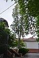 Туя західна, Сіцінського, 2 у Кам'янець-Подільському.jpg