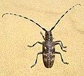 Усач бронзовый сосновый Monochamus galloprovincialis Pine sawyer beetle Черен боров сечко Bäckerbock (41241741475).jpg