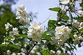 Цветущий чубушник (16091379776).jpg