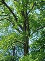 Чернігів. Дерево з групи багатовікових дубів.JPG
