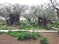 הגן בכנסיית גת שמנים.jpg