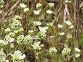 כחליל הגרניון(Aricia agestis agestis) גבעת רם 19 במאי 2011.jpg