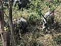 जंगल भ्रमणको दौरान देखिएको गैंडा २.jpg