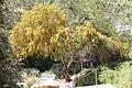 აკაცია Acacia retinodes Wasser-Akazie 1.JPG