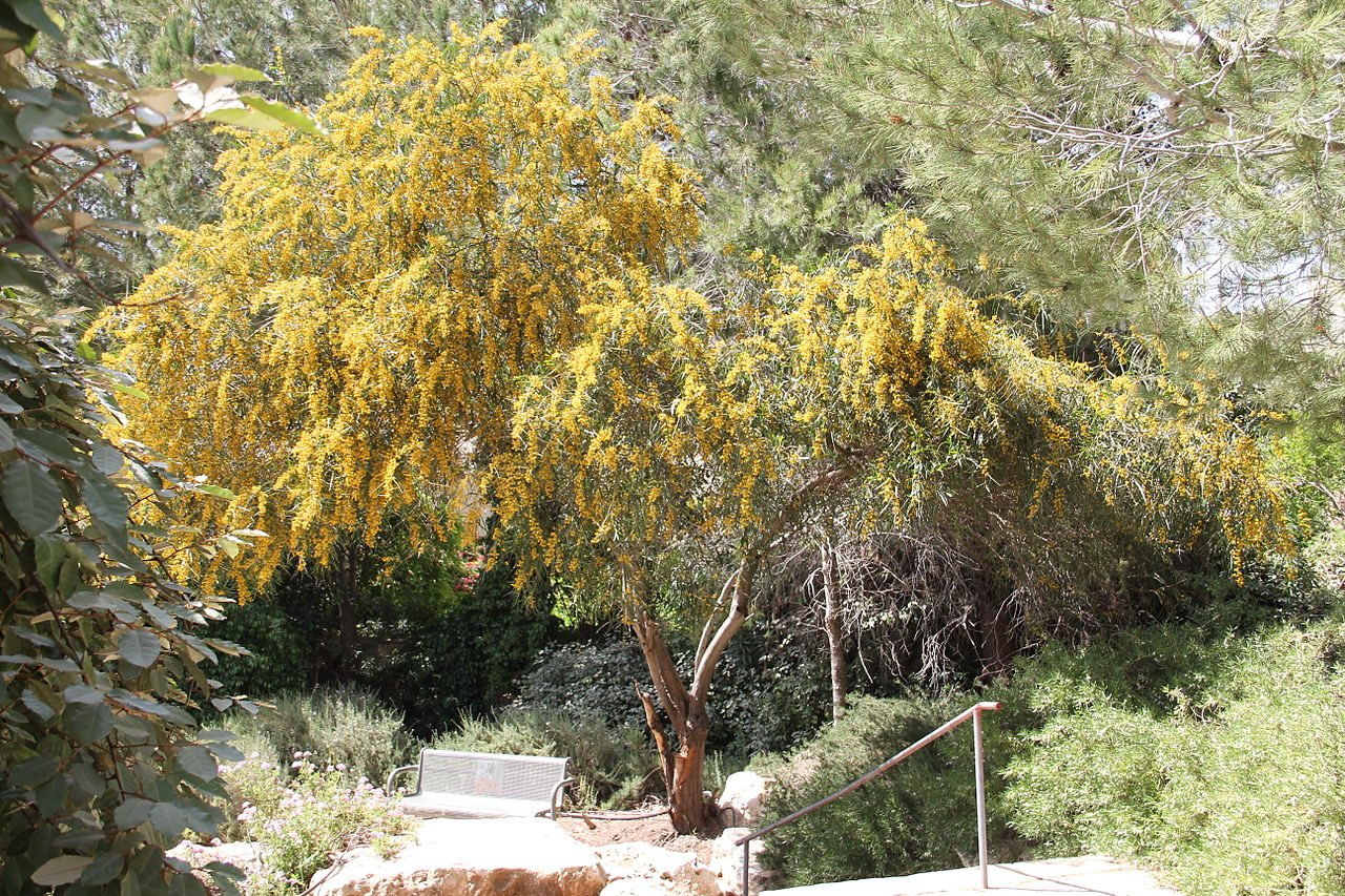 File:აკაცია Acacia retinodes Wasser-Akazie 1.JPG