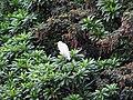 中白鷺 Egretta intermedia - panoramio (3).jpg
