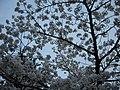 円山公園の桜 - panoramio (4).jpg