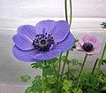 冠狀銀蓮花 Anemone coronaria -香港花展 Hong Kong Flower Show- (13215796104).jpg