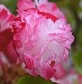 四季秋海棠-重瓣 Begonia Doublet -香港青松觀蘭花展 Tuen Mun, Hong Kong- (9207601314).jpg
