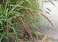 多穗狼尾草 Pennisetum polystachyon -香港雲泉仙館 Ping Che, Hong Kong- (9204819123).jpg