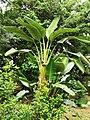 大鶴望蘭 Strelitzia nicolai 20201012124107 03.jpg